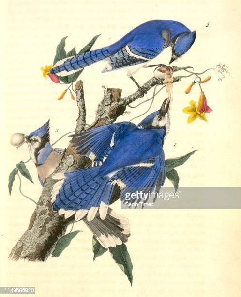 Blue Jay 1 Male 2 amp 3 Female Audubon John James 17851851