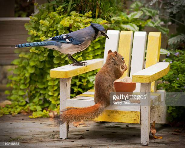 blue jay and small red squirrel - bedford nova scotia stock pictures, royalty-free photos & images
