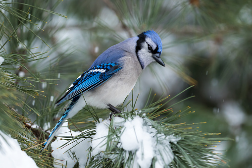Blue Jay - Cyanocitta cristata 867519396