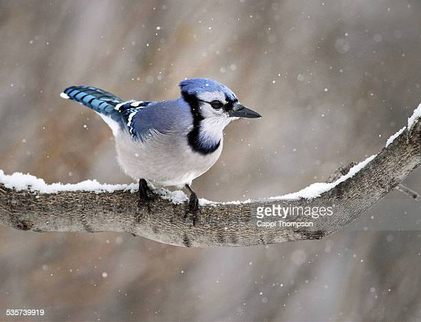 Blue Jay during winter