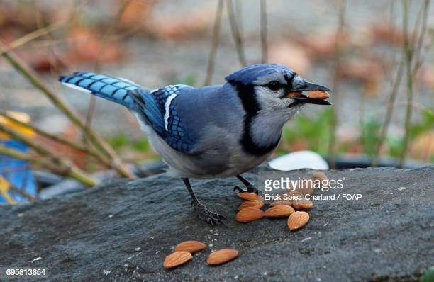 Blue jay eating almonds