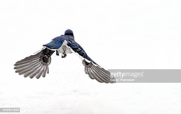 Blue Jay flying away