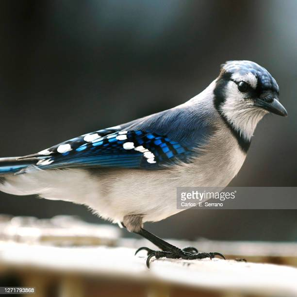 blue jay in the city - yonkers stock pictures, royalty-free photos & images