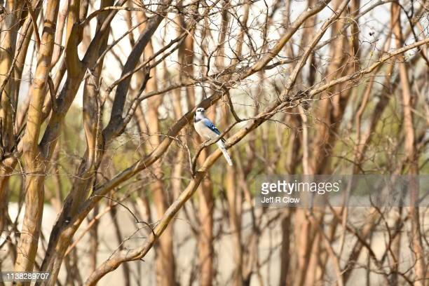 blue jay in the forest at the rookery in dallas - rookery stock pictures, royalty-free photos & images