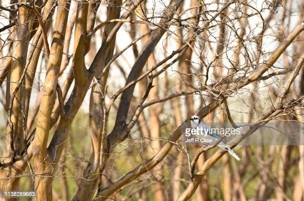 blue jay in the forest - rookery stock pictures, royalty-free photos & images