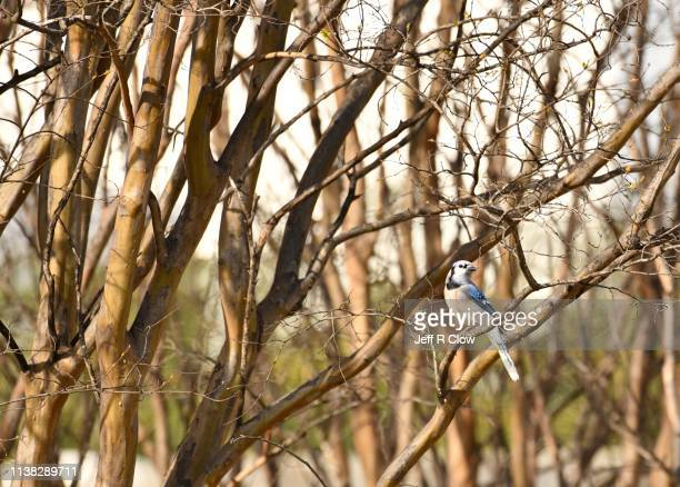 blue jay in the trees at the rookery in dallas - rookery stock pictures, royalty-free photos & images