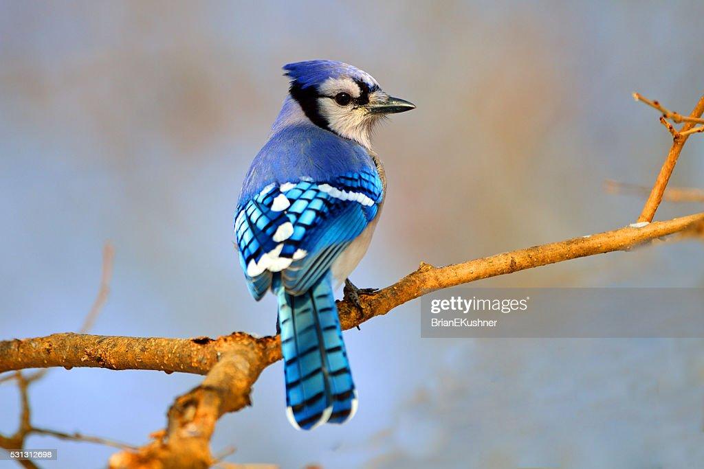 Blue Jay in Tree : Stock Photo