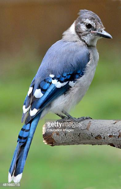 Blue Jay Juvenile Animal Portrait