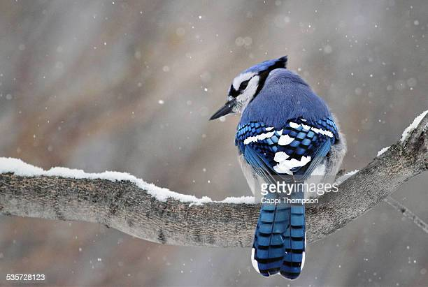 Blue Jay looking back