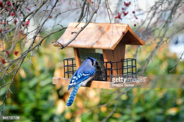Blue Jay on a bird feeder