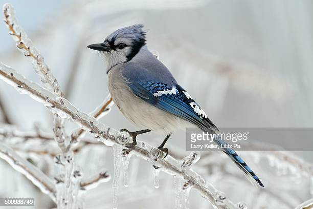 Blue Jay on an ice covered limb