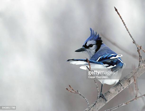 Blue Jay on branch during windy day.