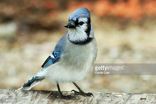 Blue Jay on porch