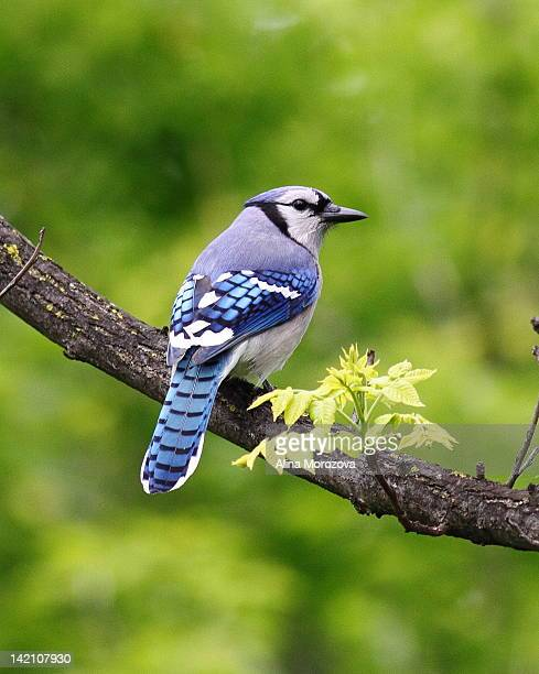 Blue Jay on tree branch