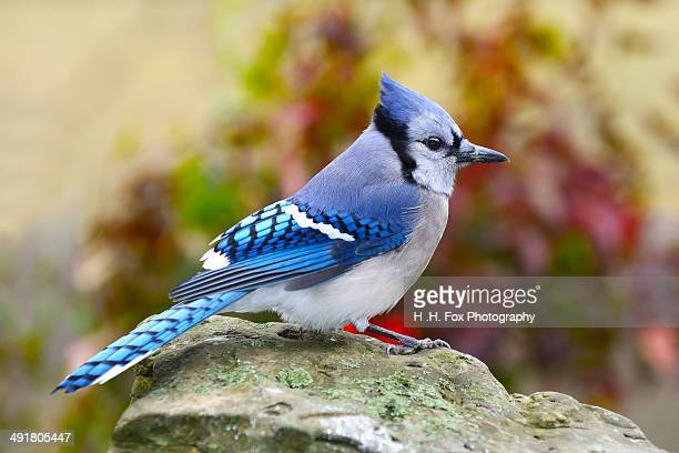 Blue Jay Perched on Rock