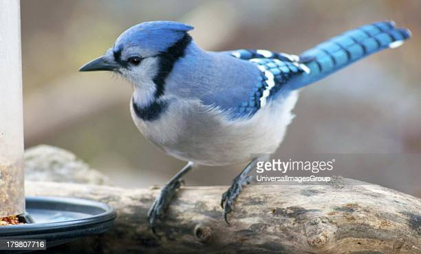 Blue Jay Perched on Weathered Tree Limb