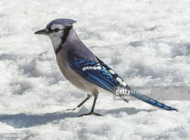 blue jay - ian gwinn stock pictures, royalty-free photos & images