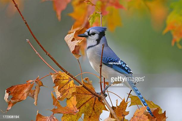 blue jay - bird stock pictures, royalty-free photos & images