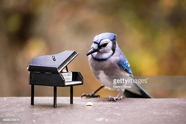 Blue jay playing for peanuts