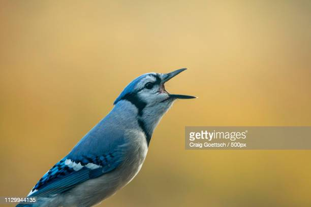 blue jay (cyanocitta cristata) singing - animal call stock pictures, royalty-free photos & images