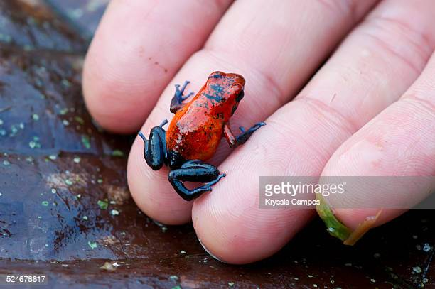 Blue jeans poison dart frog on a man hand