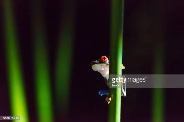 pantalones de mezclilla, toxicología rana flecha roja - selva tropical fotografías e imágenes de stock
