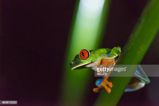 Blue Jeans, Poison Dart Frog