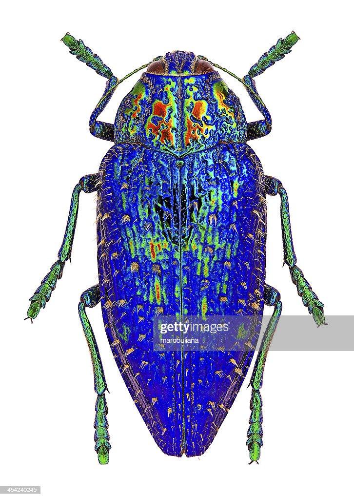 Blue jewel beetle : Stock Photo