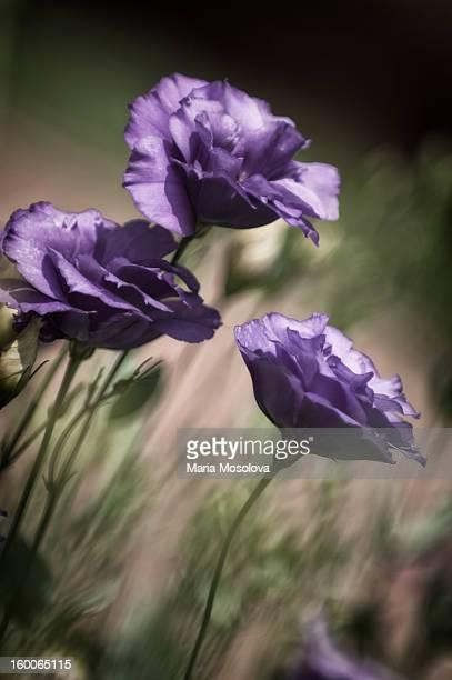 Blue Lisianthus Flower Trio