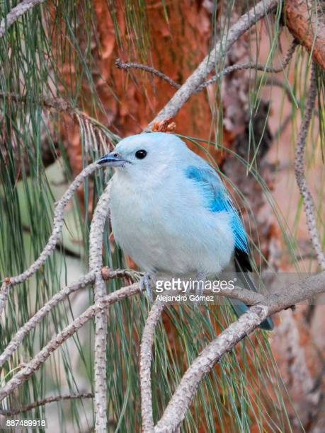 blue little bird - cundinamarca stock pictures, royalty-free photos & images
