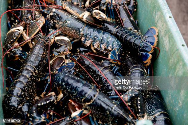Blue lobster at Ballycotton, Munster province, County Cork, Ireland