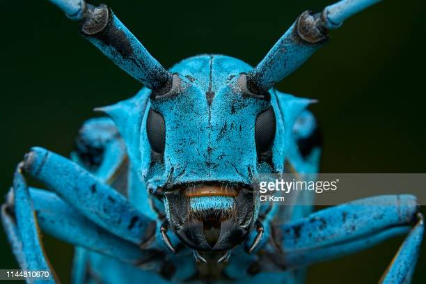 blue longhorn beetle - insect stock pictures, royalty-free photos & images