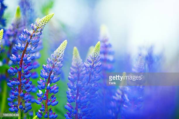Blue lupines