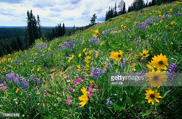 Blue Lupins and Heartleaf Arnica: blue and yellow wildflowers - Yellowstone National Park, Wyoming