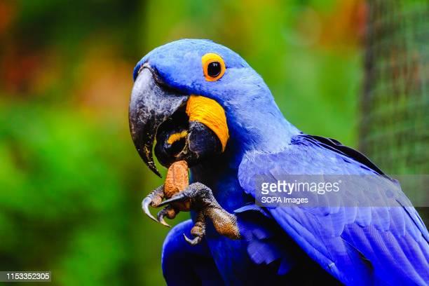 Blue macaw feeds on a chestnut