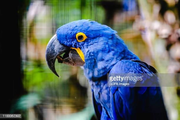 Blue macaw in Brazil