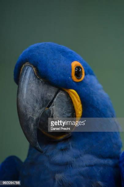 blue macaw - arara azul grande imagens e fotografias de stock