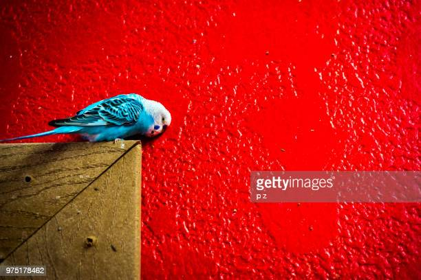 Blue Macaw (Cyanopsitta spixii) sitting on wood on red background