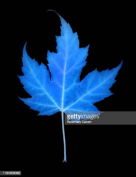 blue maple leaf, colour manipulated, on black. - digital enhancement stock pictures, royalty-free photos & images