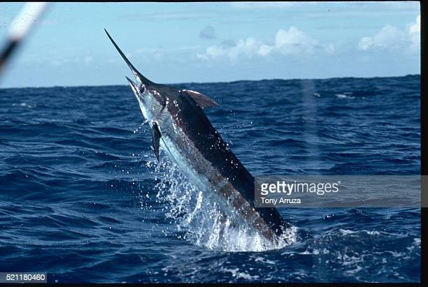 blue marlin leaps - marlin stock photos and pictures