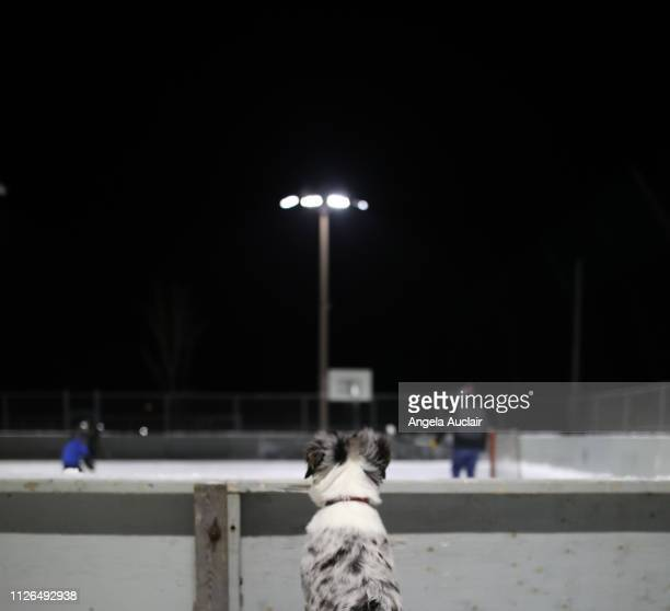 blue merle australian shepherd puppy at winter ice rink - ice hockey rink stock pictures, royalty-free photos & images