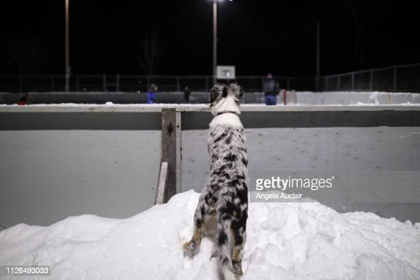 Blue Merle Australian Shepherd Puppy at Winter Ice Rink