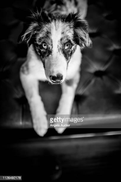 Blue Merle Australian Shepherd Puppy Portraits
