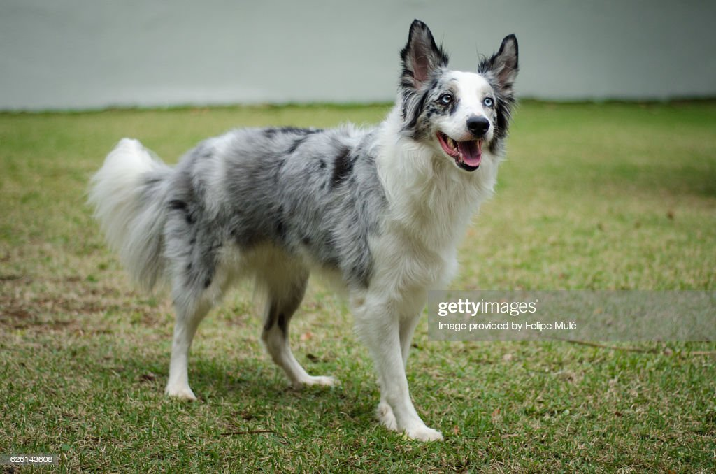 blue merle border collie photo - getty images