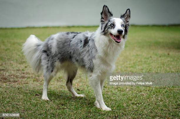 Worlds Best Blue Merle Collie Stock Pictures Photos And