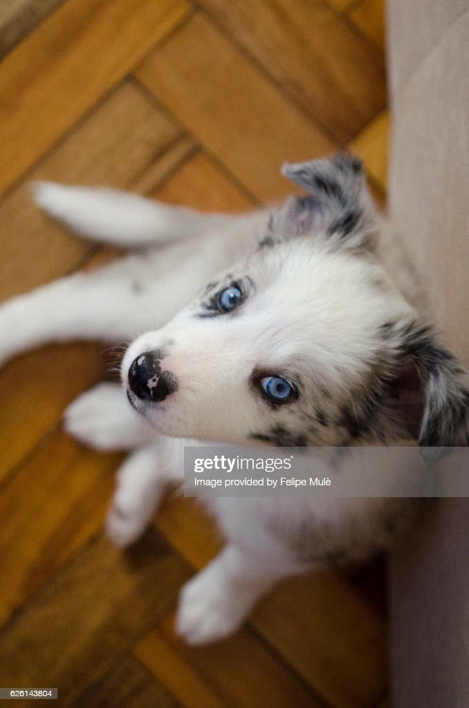 Blue Merle Border Collie Puppy High Res Stock Photo Getty Images