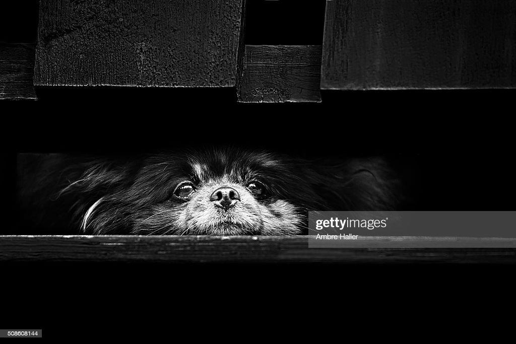 Blue Merle Pomeranian laying down : Stock Photo