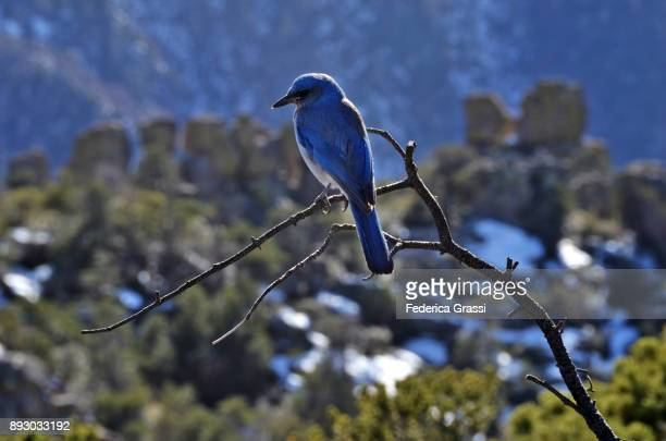 Blue Mexican Jay, Chiricahua National Monument