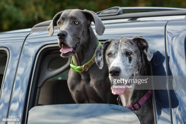 Blue mixed breed dog and Blue Merle Great Dane with heads out window of car