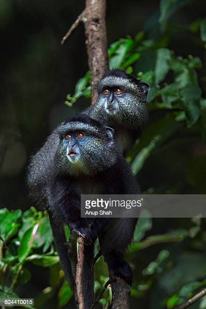Blue monkey babies clinging to a tree